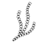 spiruline-canva